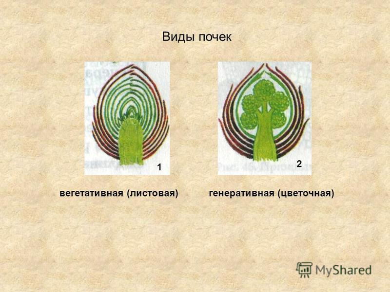Виды почек 1 2 вегетативная (листовая)генеративная (цветочная)