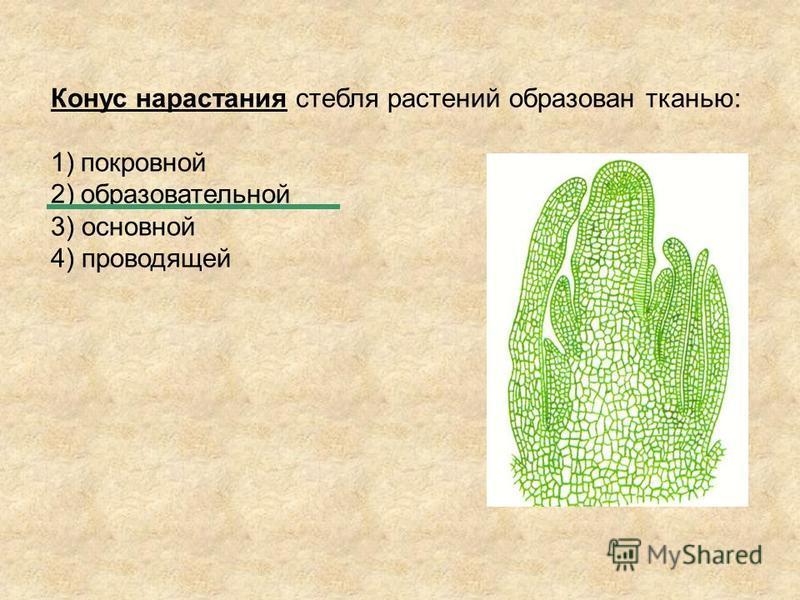 Конус нарастания стебля растений образован тканью: 1)покровной 2)образовательной 3) основной 4) проводящей