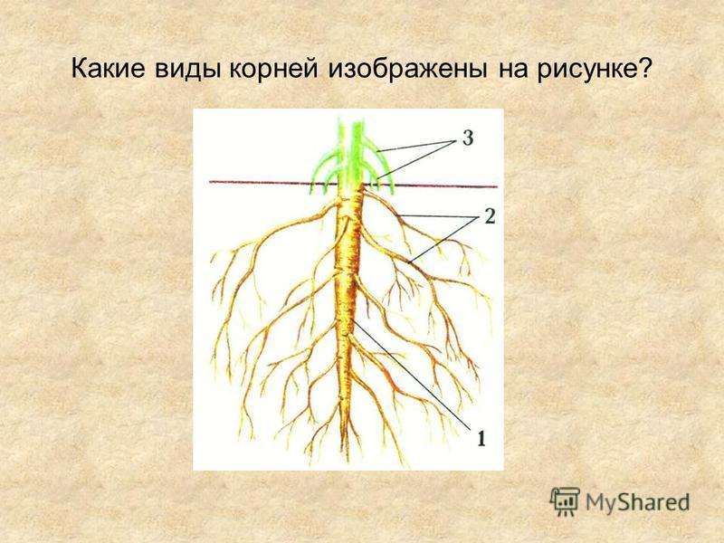 Какие виды корней изображены на рисунке?