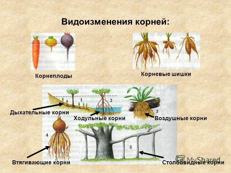 Видоизменения корней: Корнеплоды Корневые шишки Дыхательные корни Ходульные корни Воздушные корни Втягивающие корни Столбовидные корни
