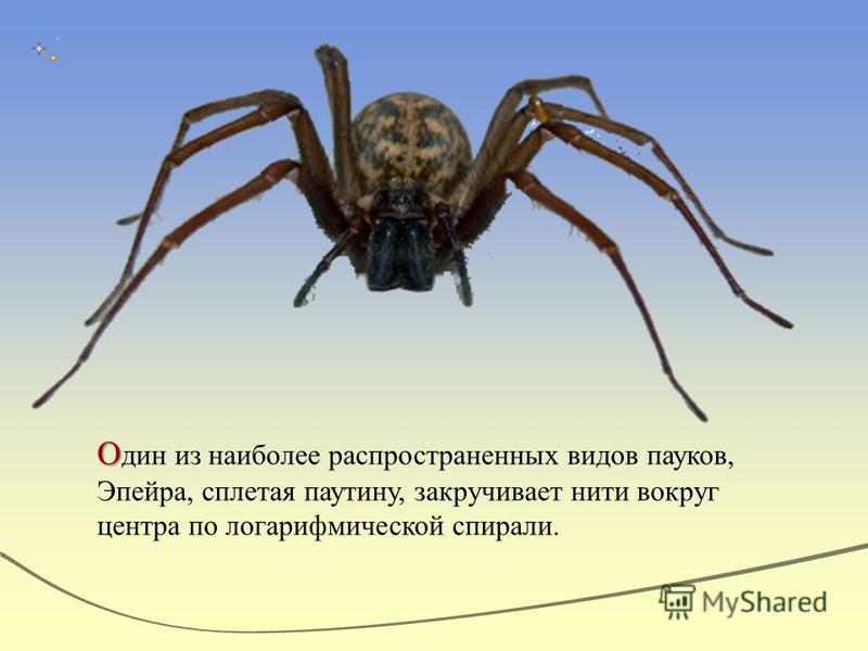 О О дин из наиболее распространенных видов пауков, Эпейра, сплетая паутину, закручивает нити вокруг центра по логарифмической спирали.