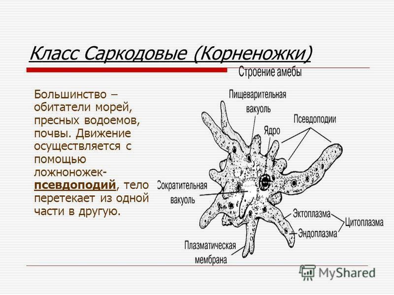 Класс Саркодовые (Корненожки) Большинство – обитатели морей, пресных водоемов, почвы. Движение осуществляется с помощью ложноножек- псевдоподий, тело перетекает из одной части в другую.