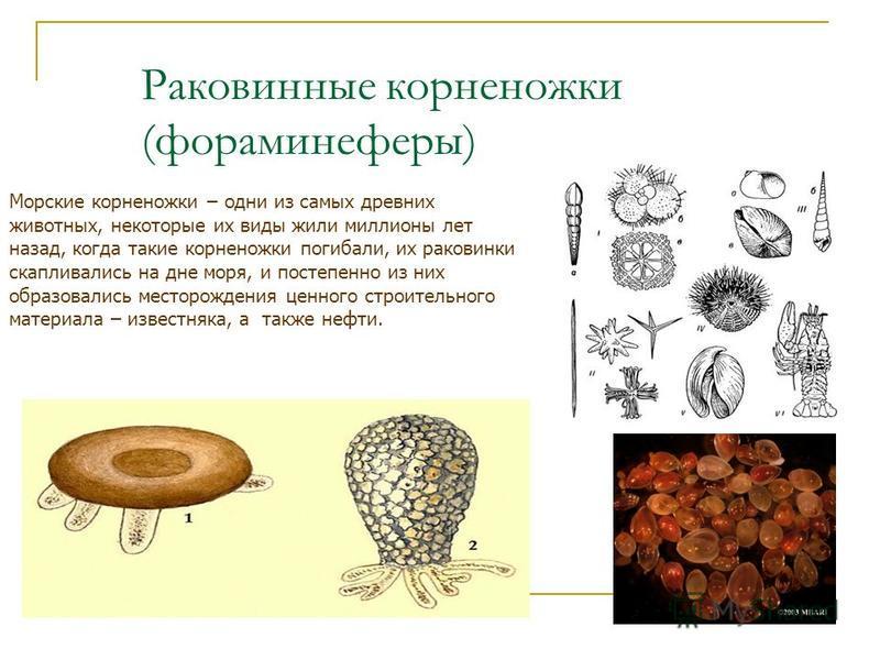 Раковинные корненожки (фораминиферы) Морские корненожки – одни из самых древних животных, некоторые их виды жили миллионы лет назад, когда такие корненожки погибали, их раковинки скапливались на дне моря, и постепенно из них образовались месторождени