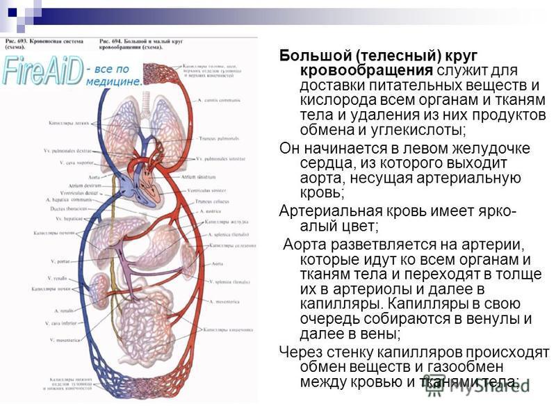 Большой (телесный) круг кровообращения служит для доставки питательных веществ и кислорода всем органам и тканям тела и удаления из них продуктов обмена и углекислоты; Он начинается в левом желудочке сердца, из которого выходит аорта, несущая артериа