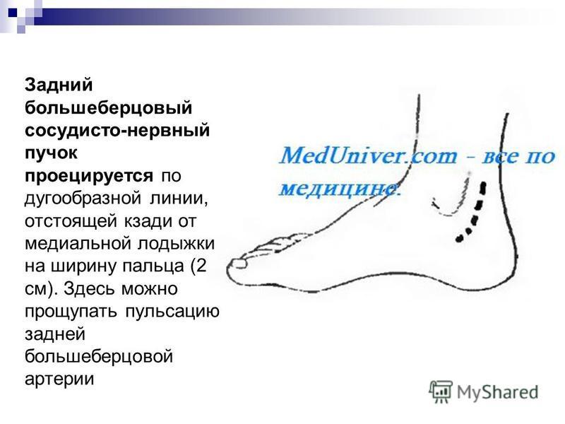 Задний большеберцовый сосудисто-нервный пучок проецируется по дугообразной линии, отстоящей кзади от медиальной лодыжки на ширину пальца (2 см). Здесь можно прощупать пульсацию задней большеберцовой артерии