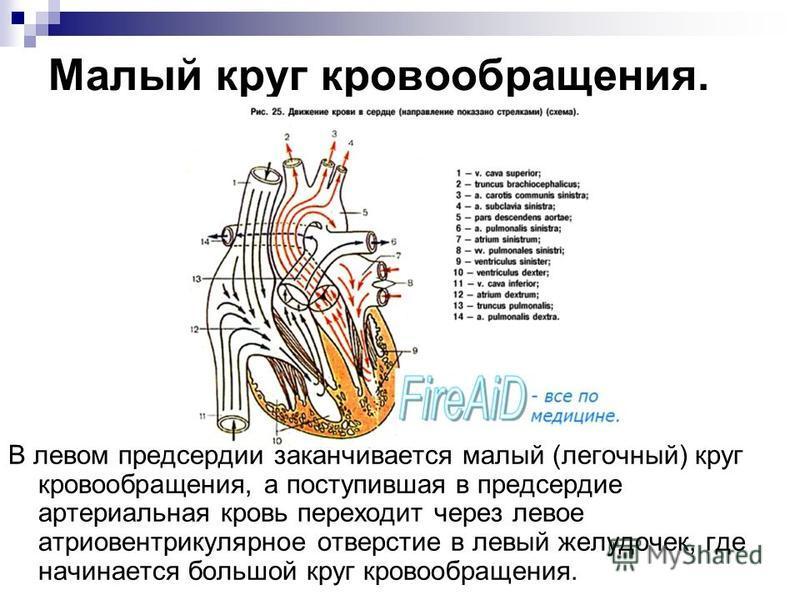 Малый круг кровообращения. В левом предсердии заканчивается малый (легочный) круг кровообращения, а поступившая в предсердие артериальная кровь переходит через левое атриовентрикулярное отверстие в левый желудочек, где начинается большой круг кровооб
