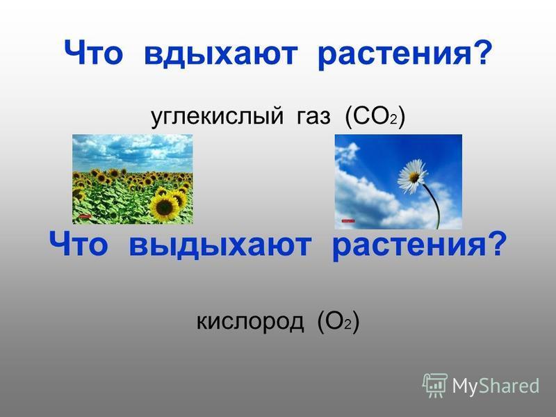 Что вдыхают растения? углекислый газ (СО 2 ) Что выдыхают растения? кислород (О 2 )