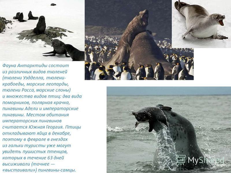 Фауна Антарктиды состоит из различных видов тюленей (тюлени Уэдделла, тюлени- крабоеды, морские леопарды, тюлени Росса, морские слоны) и множества видов птиц: два вида поморников, полярная крачка, пингвины Адели и императорские пингвины. Местом обита