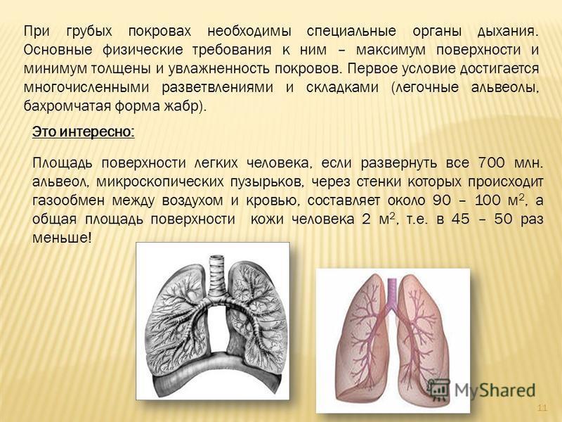 При грубых покровах необходимы специальные органы дыхания. Основные физические требования к ним – максимум поверхности и минимум толщены и увлажненность покровов. Первое условие достигается многочисленными разветвлениями и складками (легочные альвеол