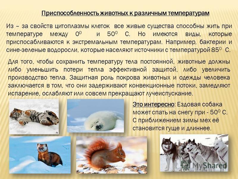 Приспособленность животных к различным температурам Из – за свойств цитоплазмы клеток все живые существа способны жить при температуре между 0 0 и 50 0 С. Но имеются виды, которые приспосабливаются к экстремальным температурам. Например, бактерии и с