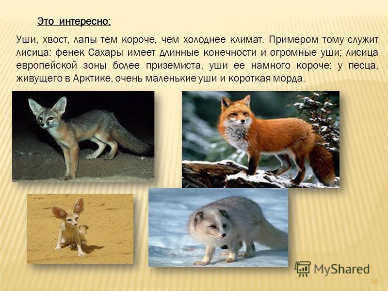 Это интересно: Уши, хвост, лапы тем короче, чем холоднее климат. Примером тому служит лисица: фенек Сахары имеет длинные конечности и огромные уши; лисица европейской зоны более приземиста, уши ее намного короче; у песца, живущего в Арктике, очень ма