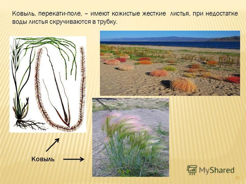 Ковыль, перекати-поле, – имеют кожистые жесткие листья, при недостатке воды листья скручиваются в трубку. Ковыль 23