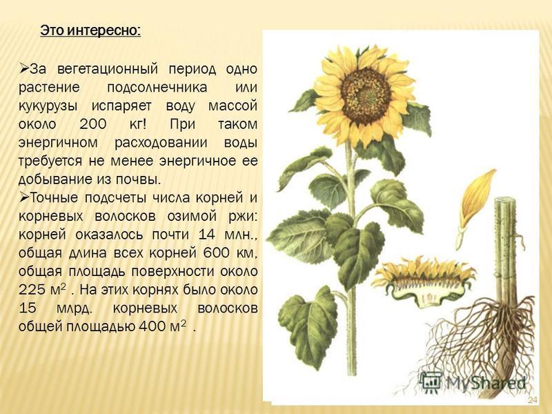 Это интересно: За вегетационный период одно растение подсолнечника или кукурузы испаряет воду массой около 200 кг! При таком энергичном расходовании воды требуется не менее энергичное ее добывание из почвы. Точные подсчеты числа корней и корневых вол