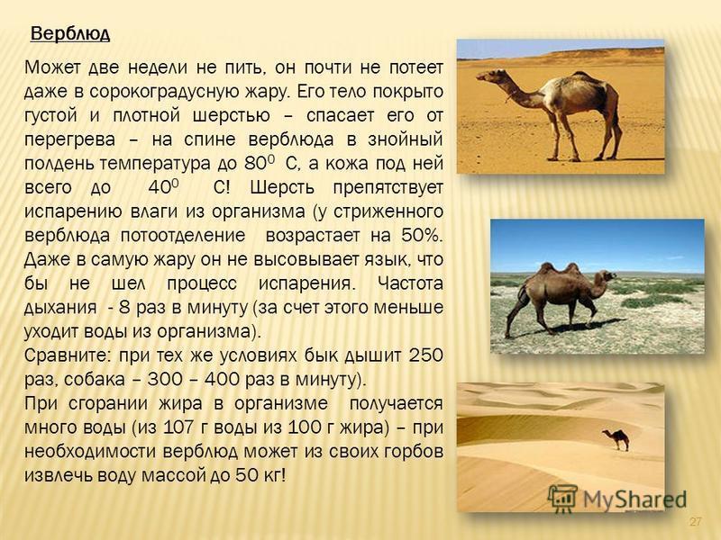 Верблюд Может две недели не пить, он почти не потеет даже в сорокоградусную жару. Его тело покрыто густой и плотной шерстью – спасает его от перегрева – на спине верблюда в знойный полдень температура до 80 0 С, а кожа под ней всего до 40 0 С! Шерсть