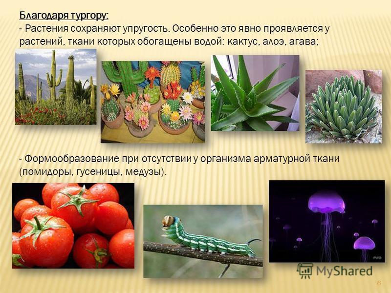 Благодаря тургору: - Растения сохраняют упругость. Особенно это явно проявляется у растений, ткани которых обогащены водой: кактус, алоэ, агава; - Формообразование при отсутствии у организма арматурной ткани (помидоры, гусеницы, медузы). 6