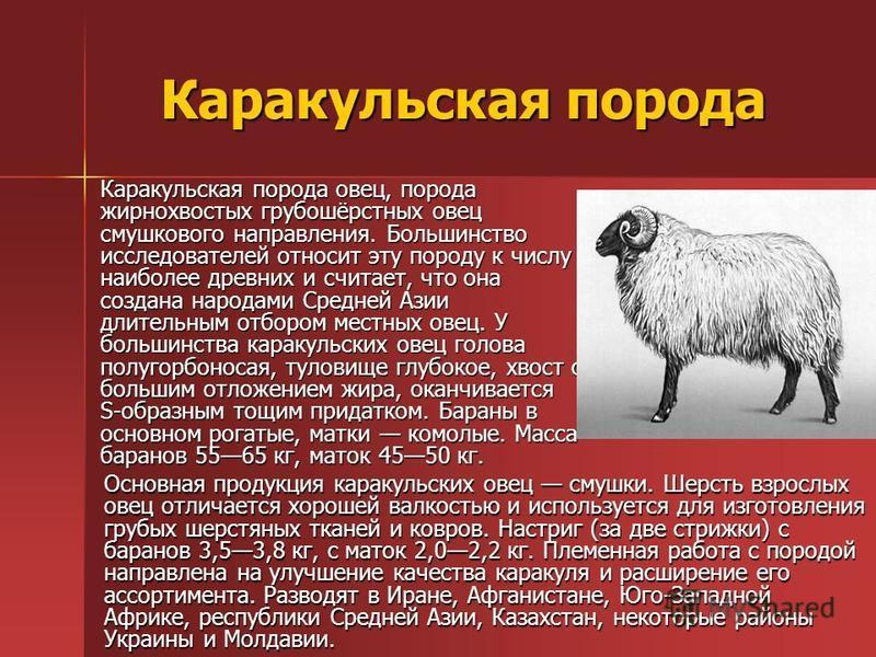Каракульская порода Каракульская порода овец, порода жирнохвостых грубошёрстных овец смушкового направления. Большинство исследователей относит эту породу к числу наиболее древних и считает, что она создана народами Средней Азии длительным отбором ме