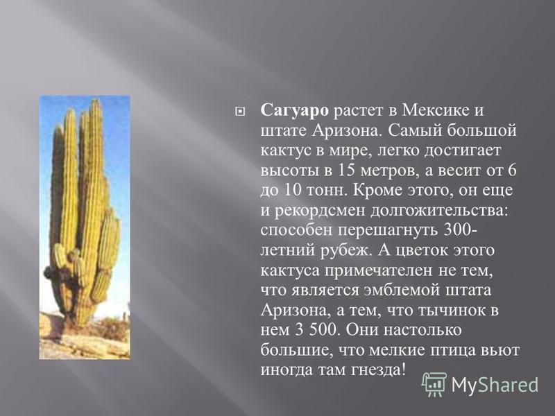 Сагуаро растет в Мексике и штате Аризона. Самый большой кактус в мире, легко достигает высоты в 15 метров, а весит от 6 до 10 тонн. Кроме этого, он еще и рекордсмен долгожительства : способен перешагнуть 300- летний рубеж. А цветок этого кактуса прим