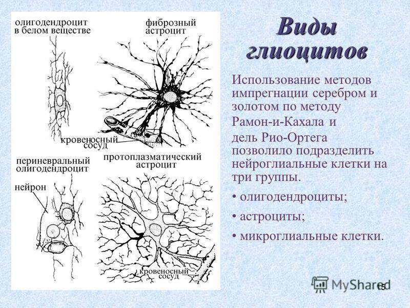 15 Виды глиоцитов Использование методов импрегнации серебром и золотом по методу Рамон-и-Кахала и дель Рио-Ортега позволило подразделить нейроглиальные клетки на три группы. олигодендроциты; астроциты; микроглиальные клетки.