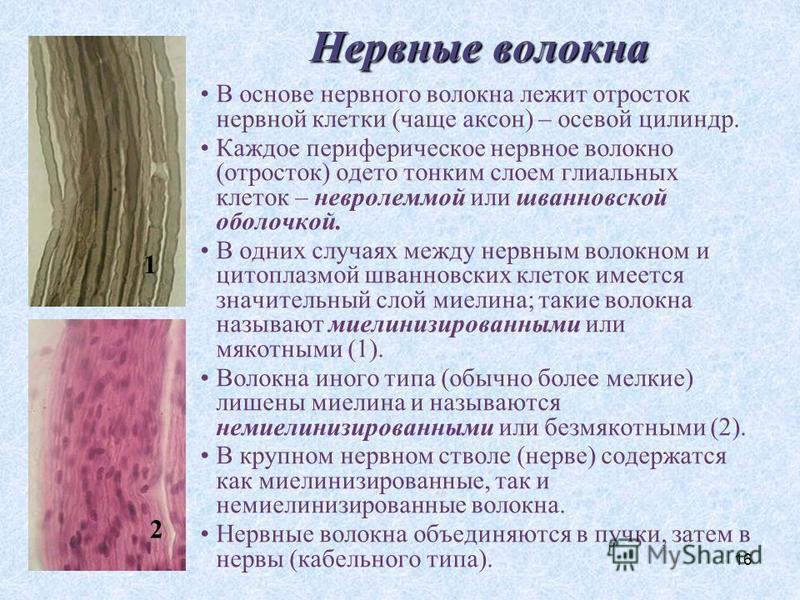16 Нервные волокна В основе нервного волокна лежит отросток нервной клетки (чаще аксон) – осевой цилиндр. Каждое периферическое нервное волокно (отросток) одето тонким слоем глиальных клеток – невролеммой или шванновской оболочкой. В одних случаях ме