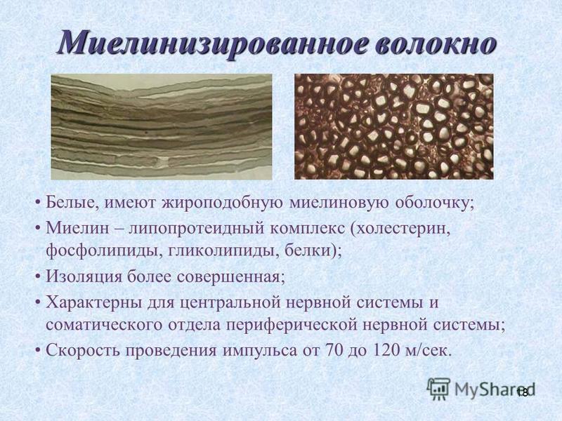 18 Миелинизированное волокно Белые, имеют жироподобную миелиновую оболочку; Миелин – липопротеидный комплекс (холестерин, фосфолипиды, гликолипиды, белки); Изоляция более совершенная; Характерны для центральной нервной системы и соматического отдела