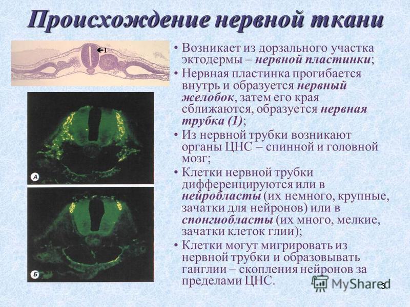 3 Происхождение нервной ткани Возникает из дорзального участка эктодермы – нервной пластинки; Нервная пластинка прогибается внутрь и образуется нервный желобок, затем его края сближаются, образуется нервная трубка (1); Из нервной трубки возникают орг