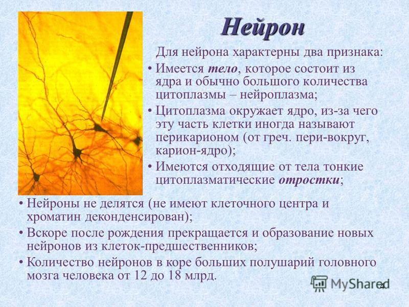 4 Нейрон Для нейрона характерны два признака: Имеется тело, которое состоит из ядра и обычно большого количества цитоплазмы – нейроплазма; Цитоплазма окружает ядро, из-за чего эту часть клетки иногда называют перикарионом (от греч. пери-вокруг, карио