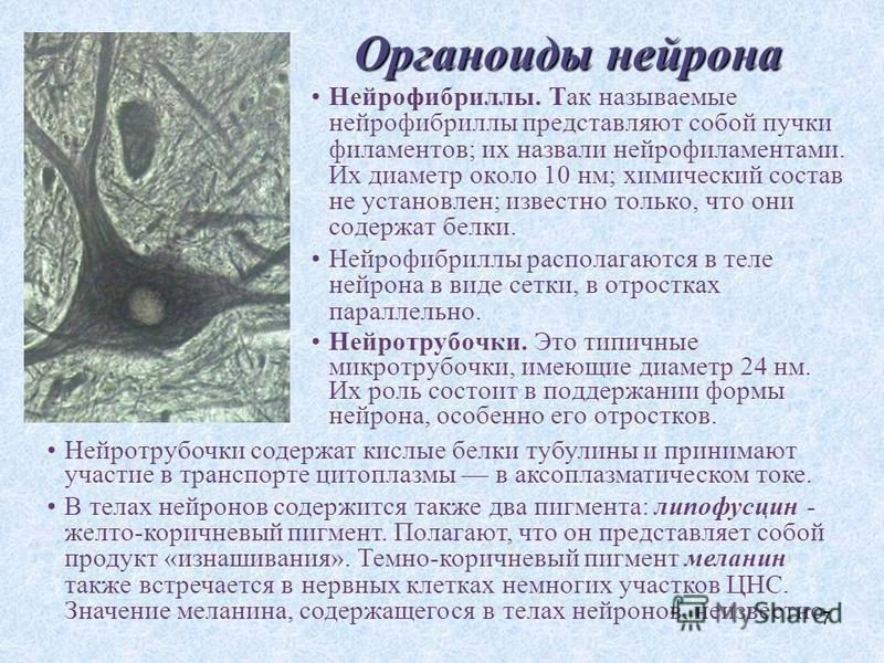 7 Органоиды нейрона Нейрофибриллы. Так называемые нейрофибриллы представляют собой пучки филаментов; их назвали нейрофиламентами. Их диаметр около 10 нм; химический состав не установлен; известно только, что они содержат белки. Нейрофибриллы располаг