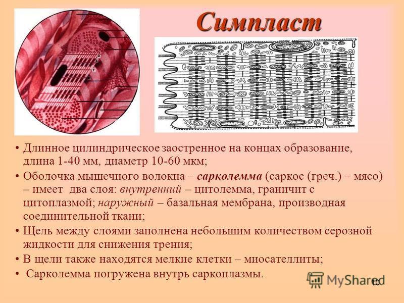 10 Симпласт Длинное цилиндрическое заостренное на концах образование, длина 1-40 мм, диаметр 10-60 мкм; Оболочка мышечного волокна – сарколемма (маркос (греч.) – мясо) – имеет два слоя: внутренний – цитолемма, граничит с цитоплазмой; наружный – базал