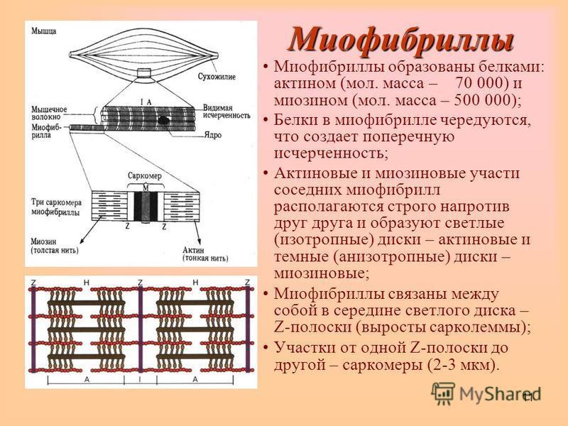 11 Миофибриллы Миофибриллы образованы белками: актином (мол. масса – 70 000) и миозином (мол. масса – 500 000); Белки в миофибрилле чередуются, что создает поперечную исчерченность; Актиновые и миозиновые участи соседних миофибрилл располагаются стро