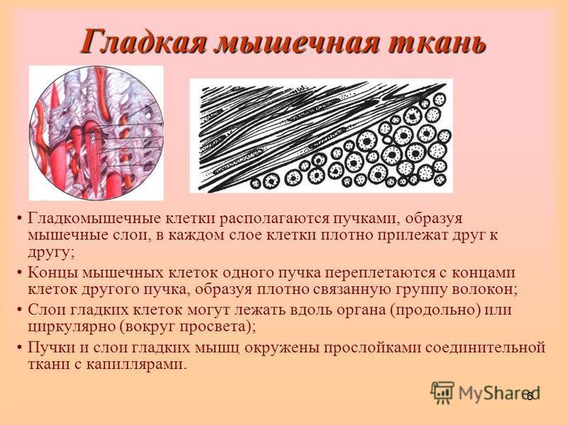 6 Гладкая мышечная ткань Гладкомышечные клетки располагаются пучками, образуя мышечные слои, в каждом слое клетки плотно прилежат друг к другу; Концы мышечных клеток одного пучка переплетаются с концами клеток другого пучка, образуя плотно связанную