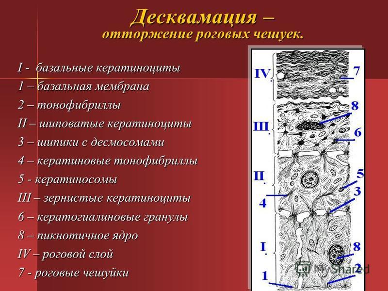 Десквамация – отторжение роговых чешуек. I - базальные кератиноциты 1 – базальная мембрана 2 – тонофибриллы II – шиповатые кератиноциты 3 – шипики с десмосомами 4 – кератиновые тонофибриллы 5 - кератиносомы III – зернистые кератиноциты 6 – кератогиал
