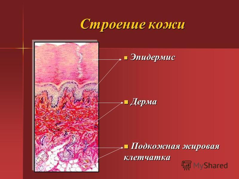 Строение кожи Эпидермис Эпидермис Дерма Дерма Подкожная жировая Подкожная жировая клетчатка