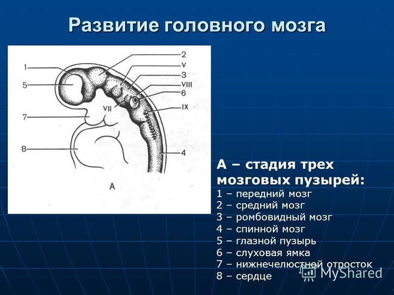 Развитие головного мозга А – стадия трех мозговых пузырей: 1 – передний мозг 2 – средний мозг 3 – ромбовидный мозг 4 – спинной мозг 5 – глазной пузырь 6 – слуховая ямка 7 – нижнечелюстной отросток 8 – сердце