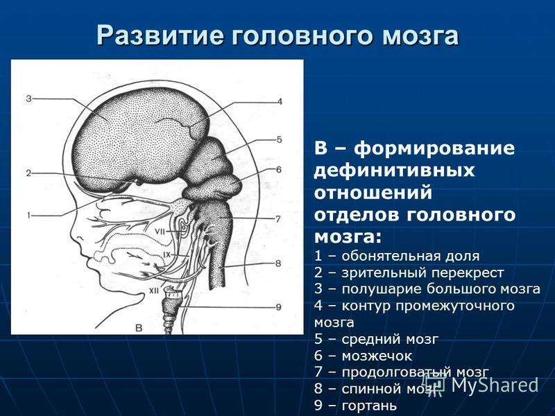 Развитие головного мозга В – формирование дефинитивных отношений отделов головного мозга: 1 – обонятельная доля 2 – зрительный перекрест 3 – полушарие большого мозга 4 – контур промежуточного мозга 5 – средний мозг 6 – мозжечок 7 – продолговатый мозг