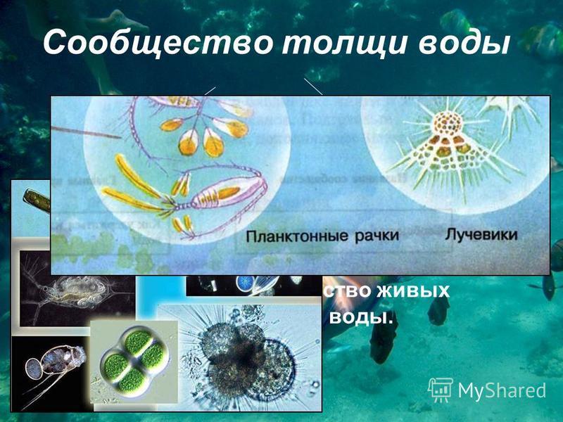 Сообщество толщи воды планктон активно плавающие организмы Что такое планктон? Планктон – это всё множество живых существ, парящих в толще воды.