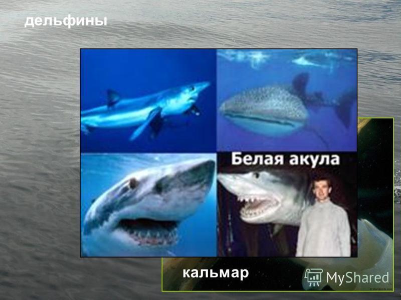 дельфины кальмар