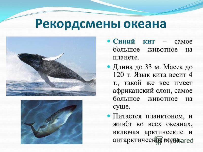 Рекордсмены океана Синий кит – самое большое животное на планете. Длина до 33 м. Масса до 120 т. Язык кита весит 4 т., такой же вес имеет африканский слон, самое большое животное на суше. Питается планктоном, и живёт во всех океанах, включая арктичес
