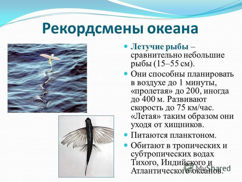Рекордсмены океана Летучие рыбы – сравнительно небольшие рыбы (15–55 см). Они способны планировать в воздухе до 1 минуты, «пролетая» до 200, иногда до 400 м. Развивают скорость до 75 км/час. «Летая» таким образом они уходя от хищников. Питаются планк
