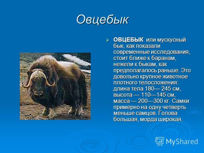 Овцебык ОВЦЕБЫК или мускусный бык, как показали современные исследования, стоит ближе к баранам, нежели к быкам, как предполагалось раньше. Это довольно крупное животное плотного телосложения: длина тела 180 245 см, высота 110145 см, масса 200300 кг.