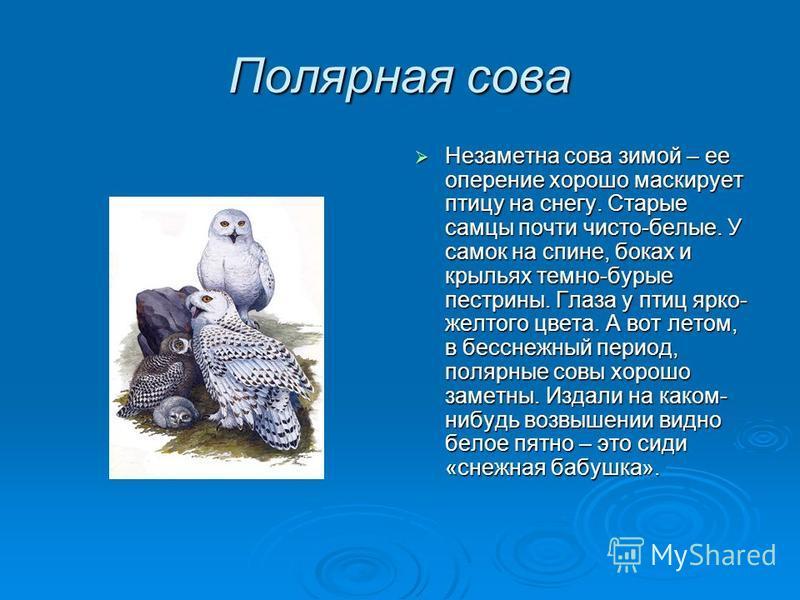 Полярная сова Незаметна сова зимой – ее оперение хорошо маскирует птицу на снегу. Старые самцы почти чисто-белые. У самок на спине, боках и крыльях темно-бурые пестрины. Глаза у птиц ярко- желтого цвета. А вот летом, в бесснежный период, полярные сов