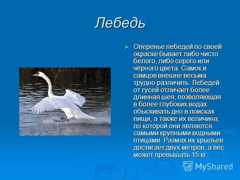 Лебедь Оперенье лебедей по своей окраске бывает либо чисто белого, либо серого или чёрного цвета. Самок и самцов внешне весьма трудно различить. Лебедей от гусей отличает более длинная шея, позволяющая в более глубоких водах обыскивать дно в поисках