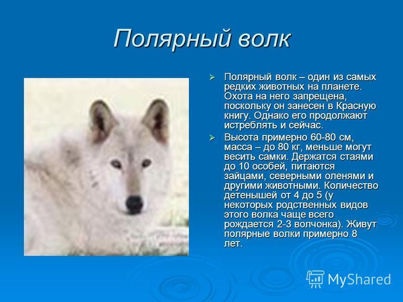 Полярный волк Полярный волк – один из самых редких животных на планете. Охота на него запрещена, поскольку он занесен в Красную книгу. Однако его продолжают истреблять и сейчас. Высота примерно 60-80 см, масса – до 80 кг, меньше могут весить самки. Д