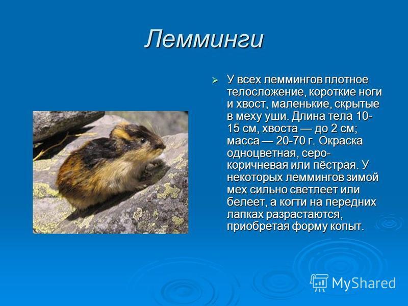Лемминги У всех леммингов плотное телосложение, короткие ноги и хвост, маленькие, скрытые в меху уши. Длина тела 10- 15 см, хвоста до 2 см; масса 20-70 г. Окраска одноцветная, серо- коричневая или пёстрая. У некоторых леммингов зимой мех сильно светл