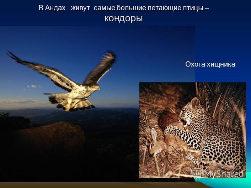 В Андах живут самые большие летающие птицы – кондоры Охота хищника