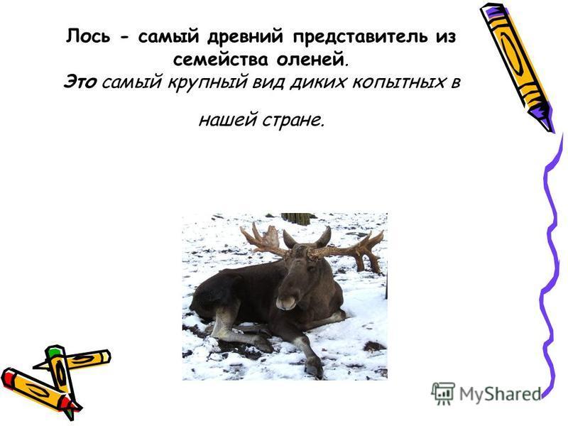 Лось - самый древний представитель из семейства оленей. Это самый крупный вид диких копытных в нашей стране.