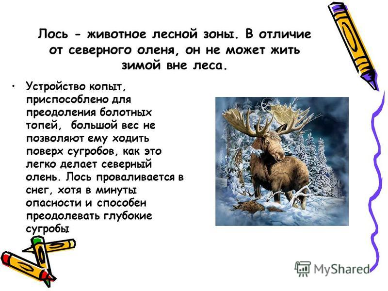Лось - животное лесной зоны. В отличие от северного оленя, он не может жить зимой вне леса. Устройство копыт, приспособлено для преодоления болотных топей, большой вес не позволяют ему ходить поверх сугробов, как это легко делает северный олень. Лось