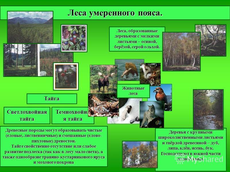 Леса, образованные деревьями с мелкими листьями – осиной, берёзой, серой ольхой. Леса умеренного пояса. Тайга Светлохвойная тайга Темнохвойна я тайга Древесные породы могут образовывать чистые (еловые, лиственничные) и смешанные (елово- пихтовые) дре