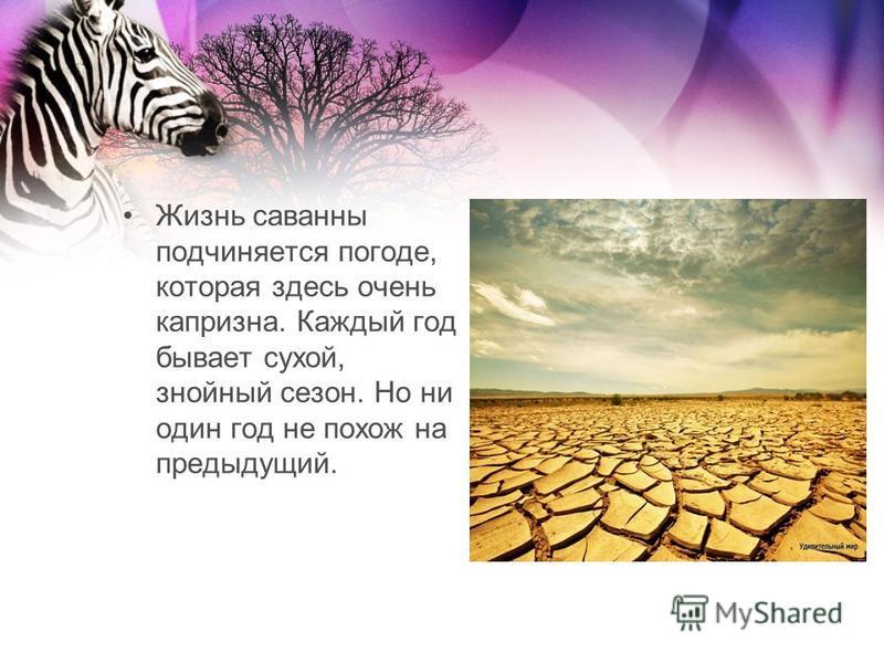 Жизнь саванны подчиняется погоде, которая здесь очень капризна. Каждый год бывает сухой, знойный сезон. Но ни один год не похож на предыдущий.
