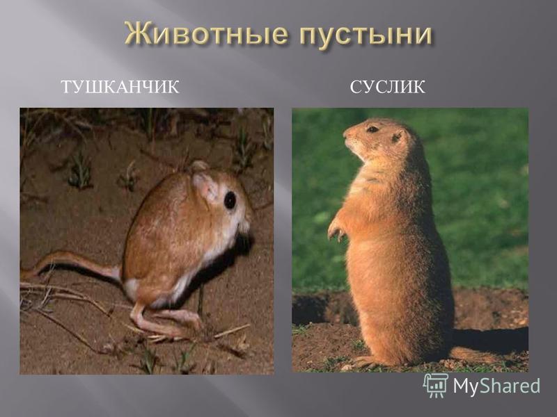 ТУШКАНЧИК СУСЛИК