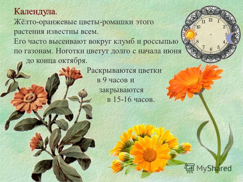 Календула Календула. Жёлто-оранжевые цветы-ромашки этого растения известны всем. Его часто высеивают вокруг клумб и россыпью по газонам. Ноготки цветут долго с начала июня до конца октября. Раскрываются цветки в 9 часов и закрываются в 15-16 часов.